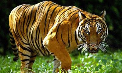 Tigre Acercándose